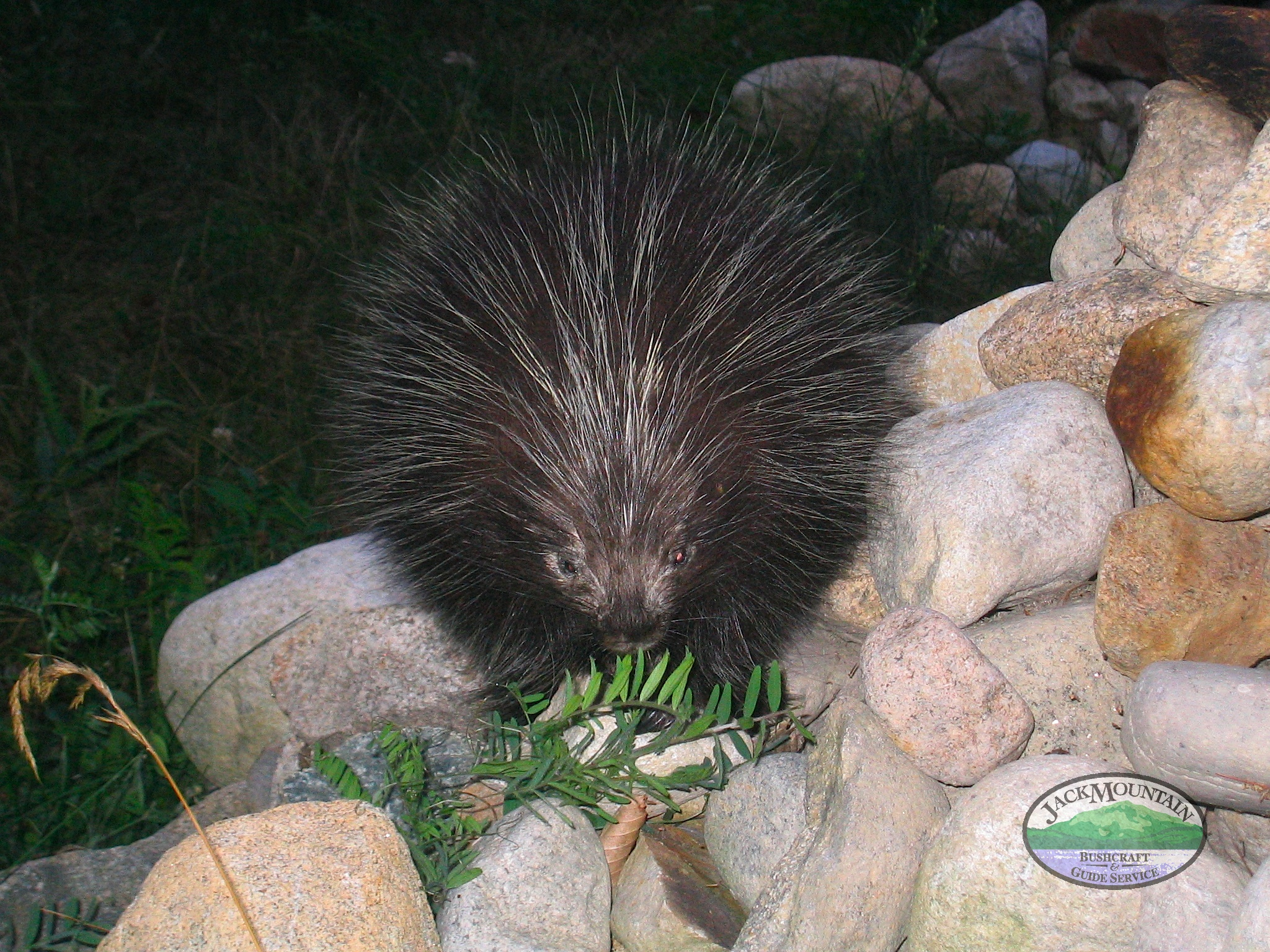 Pepe The Porcupine